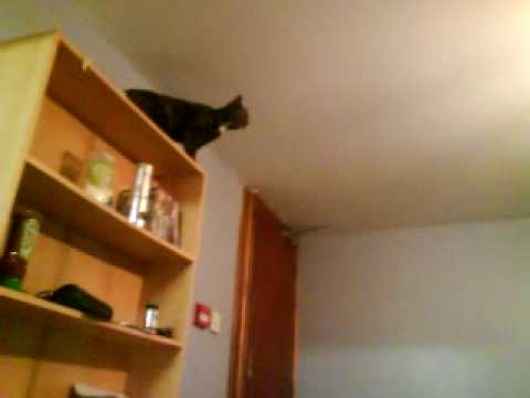 Sharon the cat jumping up onto high shelves