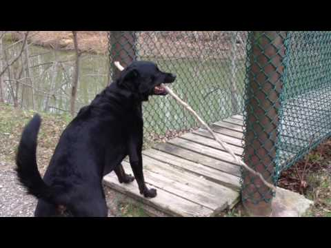 Dog Can't Walk Bridge with Long Stick