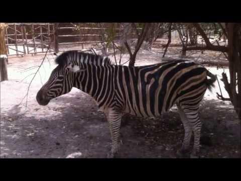 Wild Zebra in Gambia