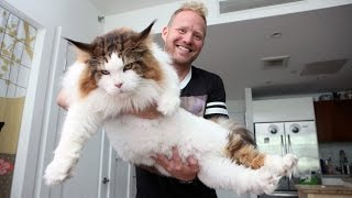4ft Long Samson Is New York's Biggest Cat: CUTE AS FLUFF