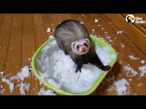 Ferret Just Discovered Snow And Can't Get Enough