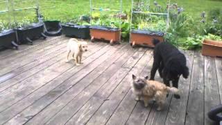 Cairn Terrier V/s Standard Poodle With Golden