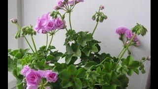 Плющелистные пеларгонії. Я купила собі нові рослини. Посилка і розпакування.