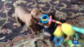Www.doxie Home.com Miniature Dachshund Puppies For Sale Nj, New Jersey, Pa
