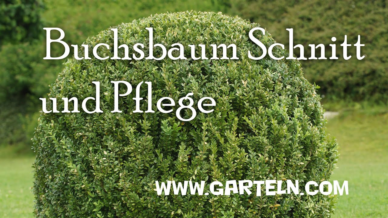 buchsbaum schnitt | buchsbaum pflege - youtube