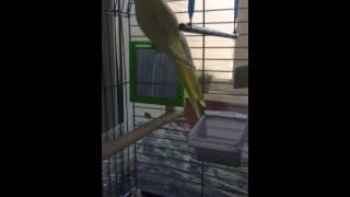 100 % способ определения пола попугая