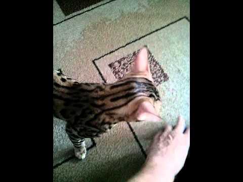 Выставка кошек в Минске 9 - YouTube