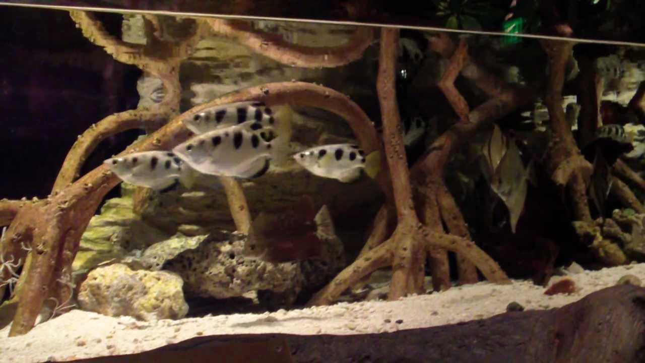 Archer Fish Tank | Archer Fish Or Spinner Fish At The Georgia Aquarium Youtube