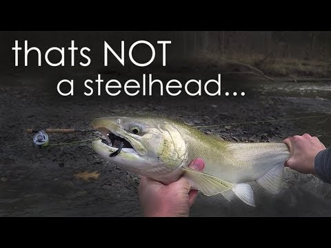 SALMON Caught In OHIO?!?! SUPER RARE Catch While Fly Fishing For Steelhead