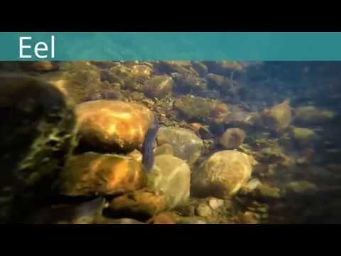 Underwater Wildlife By Darren Harries of Carmarthenshire Wildlife Watch 'Fish'Eels,Terrapins