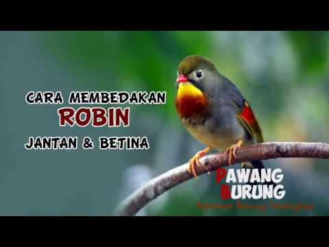 Ciri Burung Robin Jantan Betina Youtube