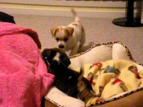 Beagle Puppy Gets Stuck On Her Back!