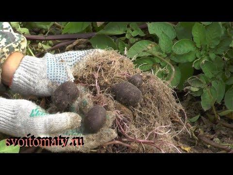 Картофель из семян. Время сбора мини клубней
