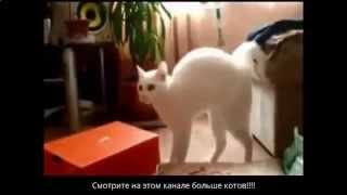 Злобные коты// Коты-боксеры