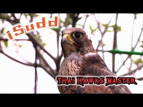 เหยี่ยวนักฆ่า (Thai Hawks Master - falcon and Harris Hawks)