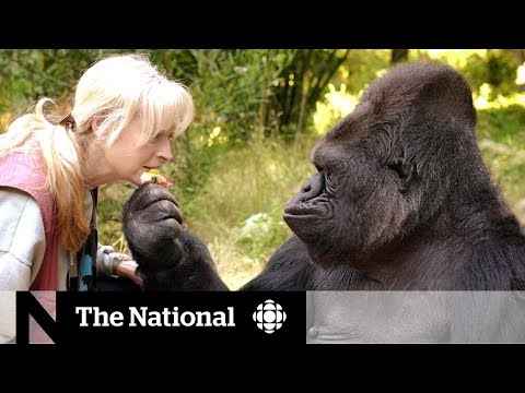 CBC News: The National: Koko the gorilla dead at age 46