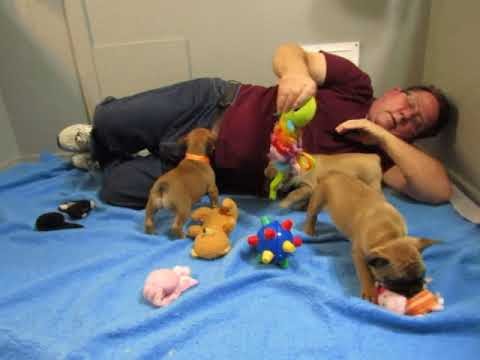 Ginny Puppies - French Bulldog Puppies ~ Oregon French Bulldog Breeders