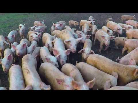 Free Range Pig Farming South Africa