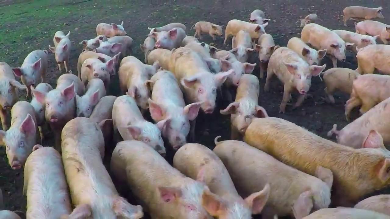 Free Range Pig Farming South Africa Youtube