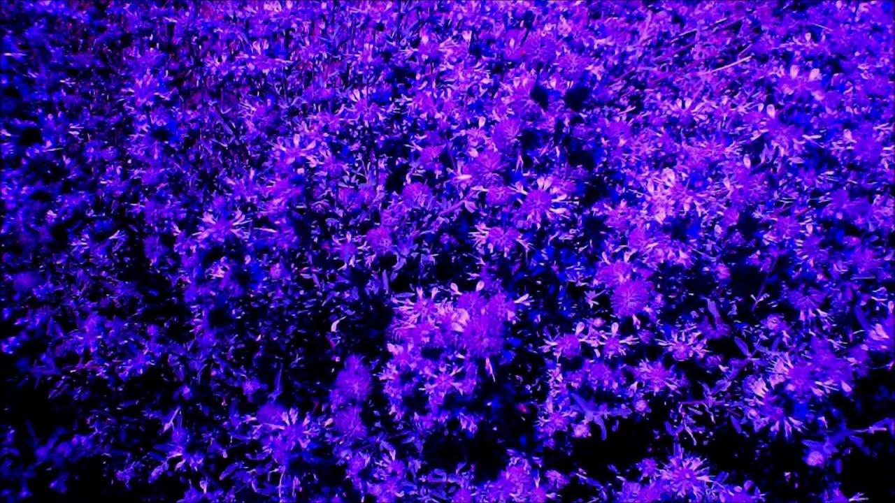Blue Violets For Sale Youtube