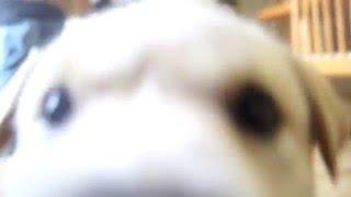 ブサカワ仔犬のシジミ君。カメラのレンズが 珍しいようで・・・ レンズ...