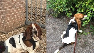 IF YOU DON'T ADORE BASSET HOUNDS, YOU WILL NOW!