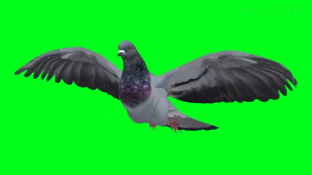 pigeon flying in different different angle bird pigeon green