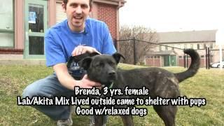 Adopted! Brenda, Labrador Retriever/akita Mix For Adoption In Indiana