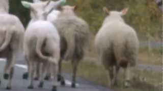 norjalaisia lampaita