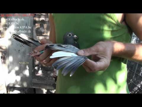WYSYLKA GOLEBI DO USA NEW JERSEY Garfield - IRELAND GALWAY best europe pigeons direct from Kulbacki