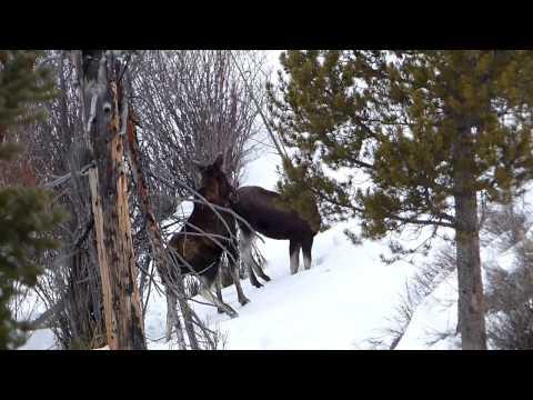 Yellowstone Moose & Calf