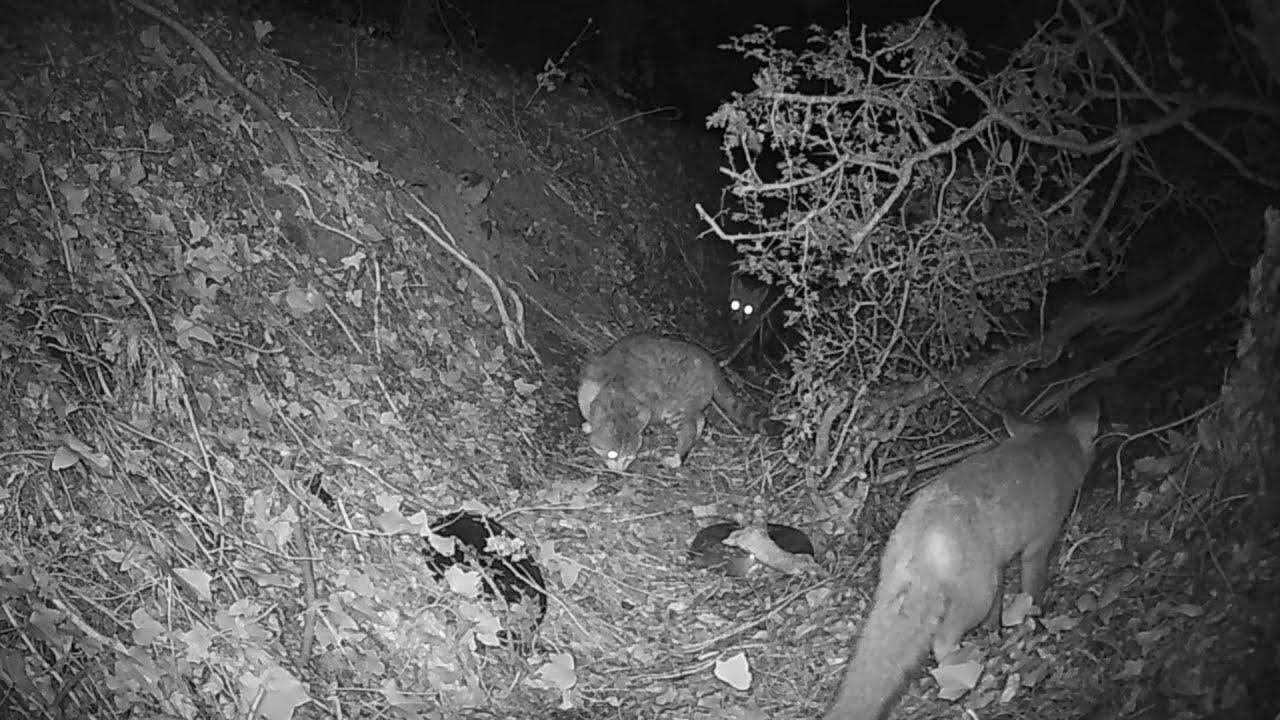 A fox & a cat fight over a hidden treat. Лиcа и кот: драка за спрятанное лакомство.