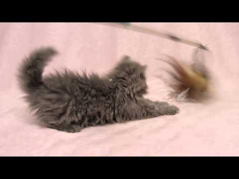 セルカークレックス ロングヘアの子猫ちゃん Selkirk Rex LH Kitten