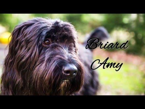 Briard Amy | Wir müssen noch Spazieren gehen!