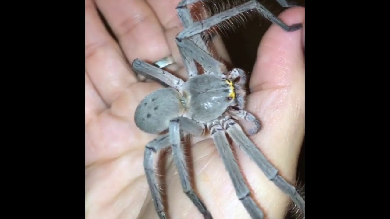 Fearless Australian Woman Loves Her Pet Huntsman Spider 'Smuk'