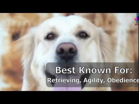 Dog Fun Facts Golden Retriever, Yorkshire Terroir, Beagle, Labrador retriever, German Shepherd