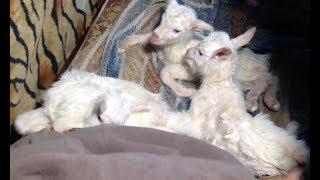 Что делать: коза в первые часы после окота. Новорождённые козлята.