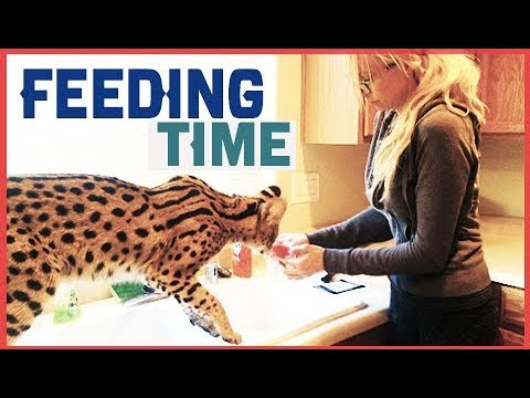 FUNNIEST Cats at FEEDING Time! - MY SERVAL CAT