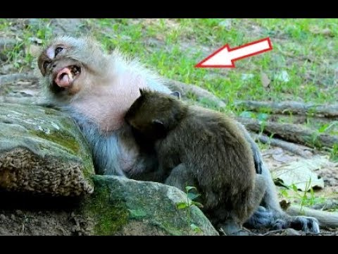 OMG! Timo Cries Seizure Until Ma Ma Tima Gives Breasting Milk, Tima Loves Timo As Small Baby Monkey.