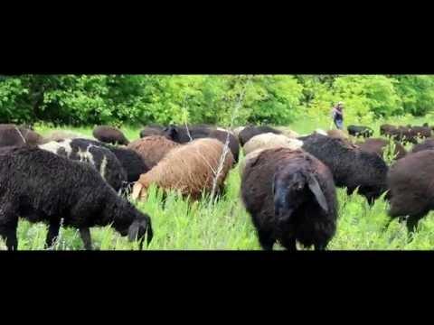 Купить барашка /барана /овцу живым весом в Москве