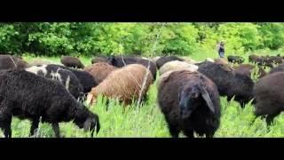 видео Где купить баранов