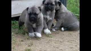 Kangal köpek yavrusu satışı ve fiyatları , 0546 460 71 17