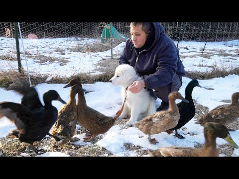 Puppy Meets Ducks for the First Time (Maremma Livestock Guardian Dog)