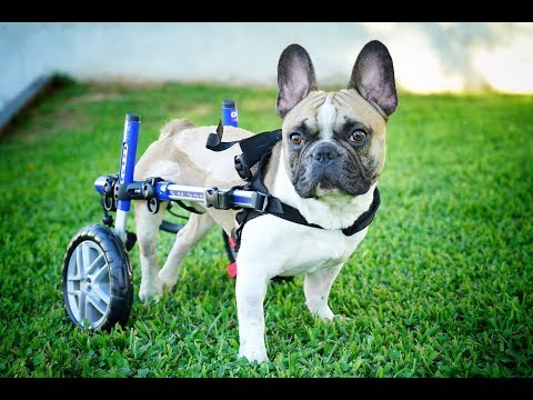AMAZING PARALYSED DOG FINDS HAPPINESS ON WHEELS!
