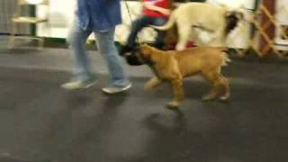 Kindred English Mastiffs Training A Puppy For The Show Ring