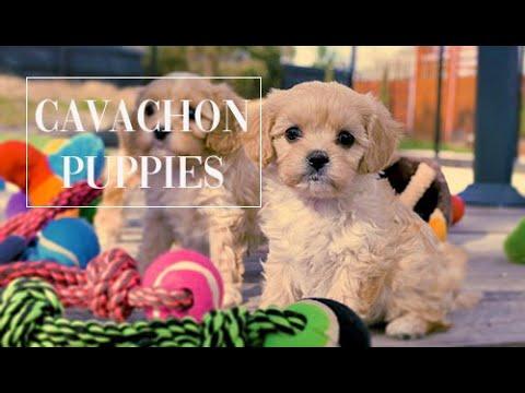Cavachon Puppies Australia