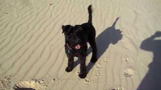 Callum - Standard Schnauzer  X  Kerry Blue Terrier