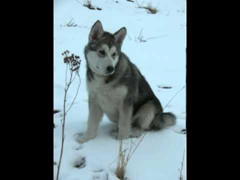 Alaskan Malamute Facts - Facts About Alaskan Malamutes