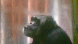 チンパンジー Chimpanzee 日本モンキーセンター Japan Monkey Centre 愛...