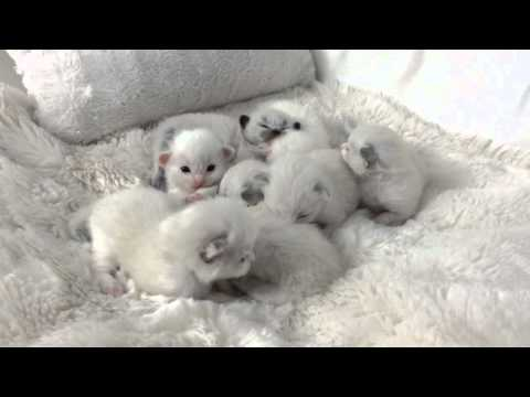 Ragdoll Kittens 2 Weeks Old